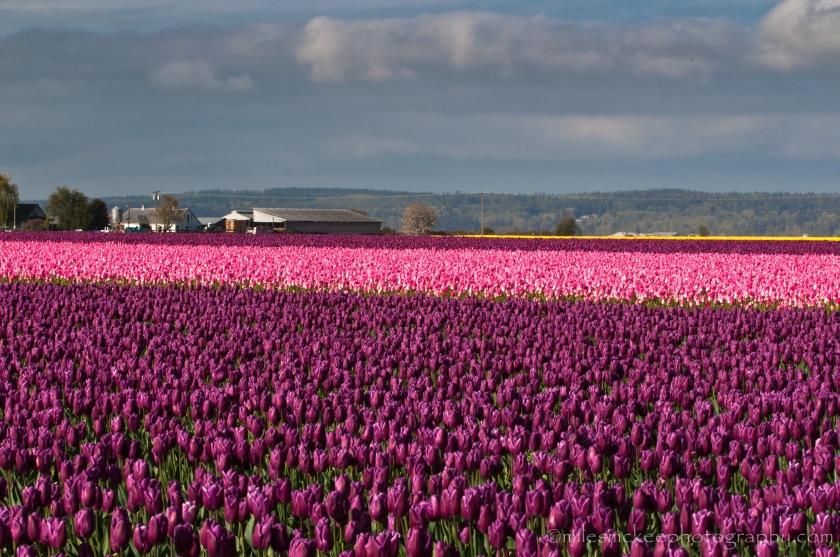 La Conner, Wa tulips
