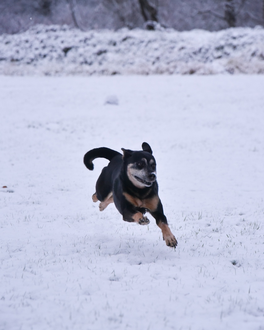 Dog running snow